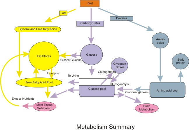 A flow-chart summary of metabolic processes