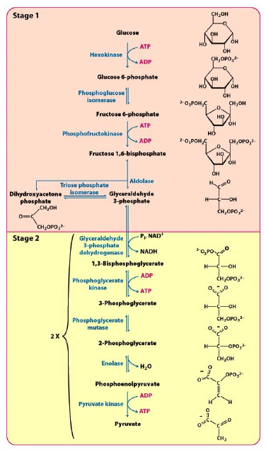Full glycolytic pathway. Adapted from Berg 2012, Fig. 16.2.